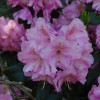 Rhododendron (any hardy, evergreen variety)