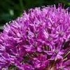 Allium (any bulbous, ornamental variety)