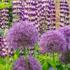 Allium (any bulbous, ornamental variety) (Allium (any bulbous, ornamental variety))