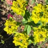 Euphorbia palustris (Marsh spurge)