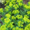 Euphorbia polychroma 'Major' (Greater many-coloured spurge)