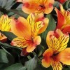 Alstroemeria 'Indian Summer' (Peruvian lily 'Indian Summer')