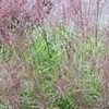 Miscanthus sinensis 'Autumn Light'
