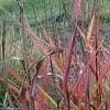 Miscanthus sinensis 'Autumn Red'