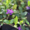 Vinca minor 'Atropurpurea' (Dark purple-flowered periwinkle)
