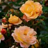 Rosa 'Flower Carpet Amber' (Rose 'Flower Carpet Amber')