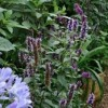 Agastache 'Blackadder' (Giant hyssop 'Blackadder')
