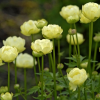 Trollius x cultorum 'New Moon' (Globeflower 'New Moon')