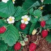 Fragaria x ananassa (any edible variety) (Strawberry (any edible variety))