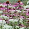 Echinacea purpurea (any variety) (Coneflower (any variety))