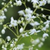 Thalictrum delavayi 'Album' (Chinese meadow rue 'Album')