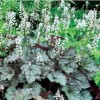 X Heucherella 'Twilight' (Foamy bells 'Twilight')
