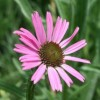 Echinacea tennesseensis 'Rocky Top' (Tennessee coneflower 'Rocky Top')