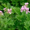 Pelargonium 'Attar of Roses' (Pelargonium 'Attar of Roses')