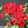 Pelargonium 'Caliente Deep Red' (Pelargonium 'Caliente Deep Red')