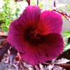 Hibiscus acetosella 'Red Shield' (Red-leaved hibiscus 'Red Shield')