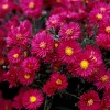 Aster novi-belgii 'Red Robin' (Michelmas daisy 'Red Robin')