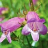 Penstemon 'Sweet Joanne' (Penstemon 'Sweet Joanne')