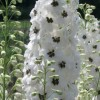 Delphinium 'Magic Fountains White Dark Bee' (Magic Fountains Series) (Delphinium 'Magic Fountains Wh