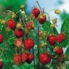 Fragaria vesca 'Baron Solemacher' (Wild strawberry 'Baron Solemacher')