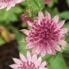 Astrantia major 'Ruby Wedding' (Masterwort 'Ruby Wedding')