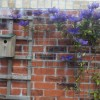 Clematis (any Early-flowering, Group 1 variety)