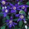 Clematis (any Early-flowering, Group 1 variety) (Clematis (any Early-flowering, Group 1 variety))