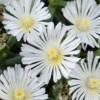 Delosperma 'White Wonder' (Wheels of Wonder Series) (Ice plant 'White Wonder')