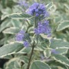 Caryopteris x clandonensis 'White Surprise' (Bluebeard 'White Surprise')