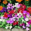 Lathyrus odoratus Little Sweetheart Mix (Sweet pea Little Sweetheart Mix)