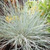 Festuca glauca 'Intense Blue' (Blue fescue 'Intense Blue')