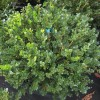Buxus microphylla var. japonica 'Winter Gem' (Japanese boxwood 'Winter Gem')