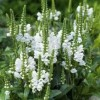 Physostegia virginiana 'Crown of Snow' (Obedient plant 'Crown of Snow')