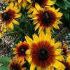 Rudbeckia 'Summerina Yellow' (Summerina Series) (Coneflower 'Summerina Yellow')