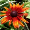 Rudbeckia 'Summerina Orange' (Summerina Series) (Coneflower 'Summerina Orange')