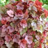 X Heucherella 'Copper Cascade' (Cascade Series) (Foamy bells 'Copper Cascade')