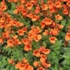 Diascia 'Divara Orange' (Divara Series) (Twinspur 'Divara Orange' )