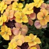 Erysimum 'Gogh's Gold' (Wallflower 'Gogh's Gold')