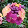 Erysimum 'Paintbox' (Wallflower 'Paintbox')