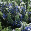 Rosmarinus officinalis 'Roman Beauty' (Rosemary 'Roman Beauty')