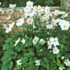 Anemone x hybrida 'Coupe d'Argent' (Japanese anemone 'Coupe d'Argent')