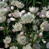 Astrantia major subsp. involucrata 'Shaggy'