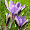 Crocus 'Spring Beauty' (Crocus 'Spring Beauty')