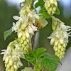 Ribes sanguineum 'Elkington's White'  (Flowering currant 'Elkington's White' )