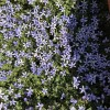 Isotoma axillaris 'Blue Star' (Blue star creeper 'Blue Star')