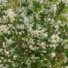 Philadelphus 'Lemoinei' (Mock orange 'Lemoinei')