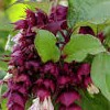 Leycesteria formosa 'Purple Rain' (Himalayan honeysuckle 'Purple Rain')