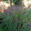 Pennisetum alopecuroides 'Moudry' (Chinese fountain grass 'Moudry')