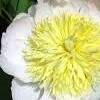 Paeonia lactiflora 'Honey Gold'