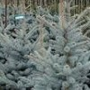 Picea pungens 'Edith'